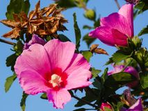 Pink Rose of Sharon Flowers Blooming stock photos
