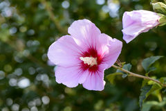 Pink rose of sharon Royalty Free Stock Images