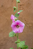 Pink Rose of Sharon Stock Photo