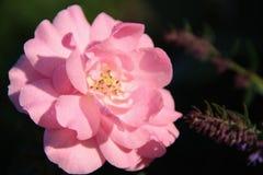 Pink rose shot in macro mode stock photos