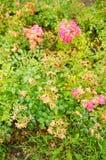 Pink rose shrub Stock Photography