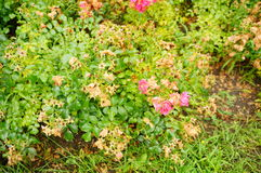 Pink rose shrub Royalty Free Stock Photography
