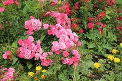 Pink rose shrub. Rose shrub with many pink blooms in the park stock photo