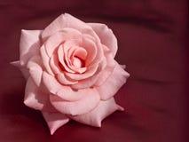 Pink Rose on Silk Stock Image