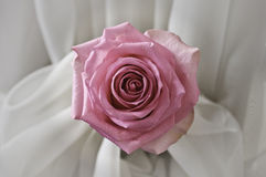 Pink rose in silk. A rose is a woody perennial of the genus Rosa, within the family Rosaceae. There are over 100 species. They form a group of plants that can be royalty free stock photography