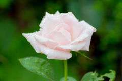 Pink rose. Rose, pink single flowers after rain Stock Image
