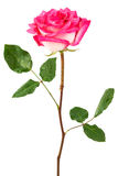 A pink rose Royalty Free Stock Images