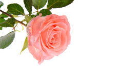 Pink rose. Single pink rose on  white background Stock Images