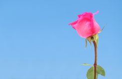 Pink rose and sky. Young pink rose against blue sky Stock Photo