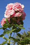 Pink rose and sky Royalty Free Stock Photos