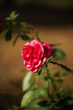 Pink Rose. With a soft background Stock Image
