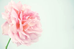 Pink rose in soft color and blur style Royalty Free Stock Photos