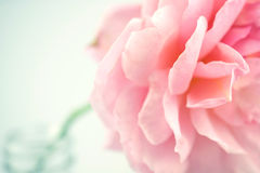 Pink rose in soft color and blur style Stock Image
