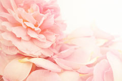 Pink rose in soft color and blur style Stock Photo