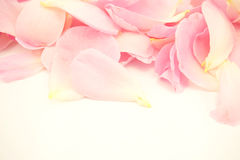 Pink rose in soft color and blur style Royalty Free Stock Photo