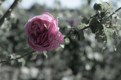 Pink rose, soft focus and  bleached background Stock Image
