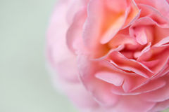 Pink rose with soft focus royalty free stock photo