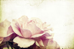 Pink rose with soft focus Royalty Free Stock Image