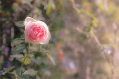 Pink rose, soft focus with orange in hilight Royalty Free Stock Image
