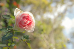 Pink rose, soft focus with yellow in hilight Royalty Free Stock Photo