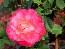 Pink rose in South Florida Royalty Free Stock Photo