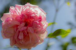 The pink Rose royalty free stock photos