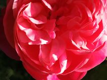 Pink rose. In sunlight Stock Photography