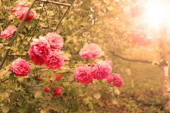 Pink rose in the sunlights Royalty Free Stock Photography