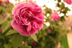 Pink rose in the sunlights Stock Photography