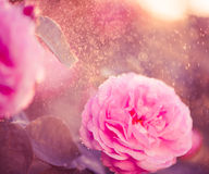 Pink rose at sunset rain Royalty Free Stock Photos