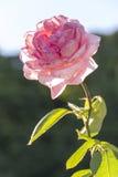 Pink rose in sunshine. A pink rose in sunshine Royalty Free Stock Image