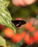 Pink rose swallowtail butterfly, Pachliopta kotzebuea. In a spring garden stock image