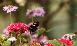 Pink rose swallowtail butterfly, Pachliopta kotzebuea. In a spring garden stock photo