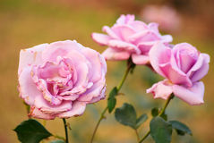 Pink Rose. Sweet roses with pink petals royalty free stock image