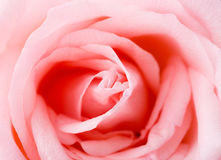 Pink Rose texture Royalty Free Stock Photos