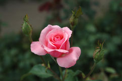 Pink rose with three buds. Royalty Free Stock Image