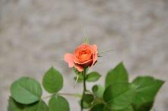 Pink rose. Stock Image