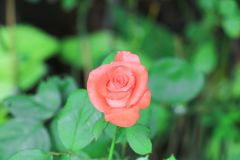 Pink rose on tree in the garden.  Stock Image