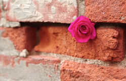 Pink Rose Tucked in Crevice of a Mortared Brick Wall Royalty Free Stock Photos