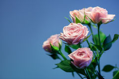 Pink rose with turquoise blurry background. Pink rose with turquoise backgorund Stock Photography