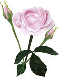 Pink rose and two buds on white Stock Images