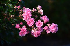 Pink Rose With Ukraine Stock Image