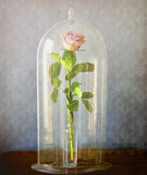 Pink rose under glass bell jar Royalty Free Stock Photo