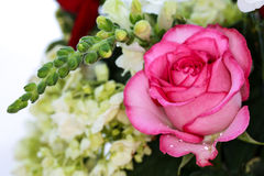 The Pink Rose. Pink rose unravels itself, revealing its vivid colors Royalty Free Stock Photography
