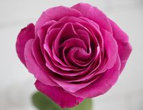 Pink rose up close with a macro lens space for text background Stock Images