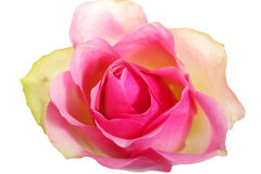 Pink rose, up front view. Stock Photos