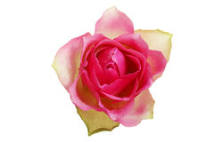 Pink rose, up front view. Royalty Free Stock Image