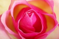 Pink rose, up front view. Royalty Free Stock Photos