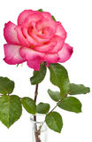 Pink Rose in Vase Stock Photography