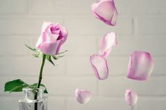 Pink rose in a vase with falling petals against the background of a white wall. Tenderness, fragility, loneliness, romance concept.  royalty free stock photo